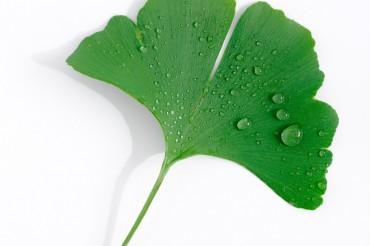 Ginkoblatt mit Wassertropfen auf weißem Hintergrund