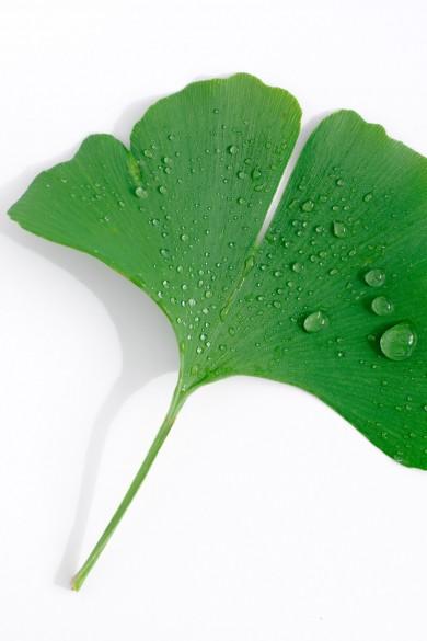 Ginkoblatt mit Wassertropfen auf weißem Hintergrund. Feigfotodesign