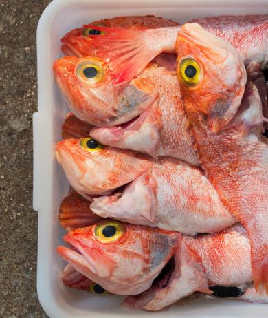Frische Rotbarsche bereit für die Zubereitung im Ca Na Toneta in Mallorca