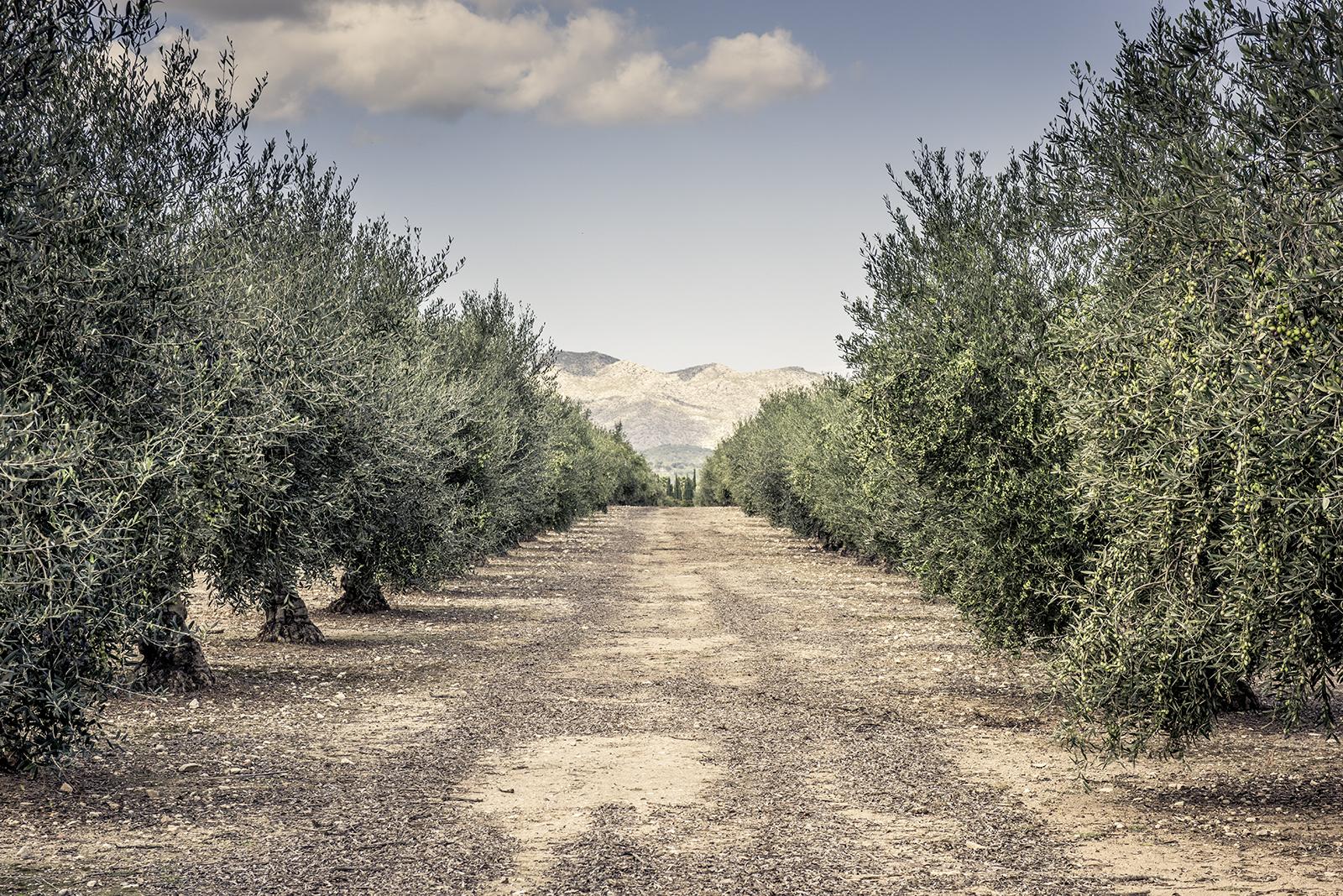 Olivenplantage auf Mallorca