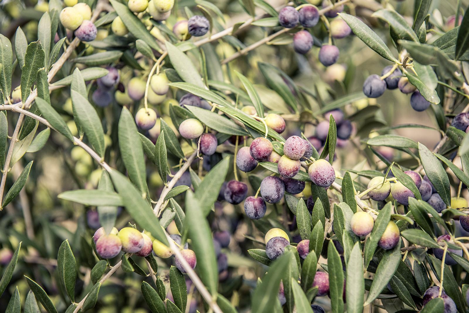 Oliven im Baum